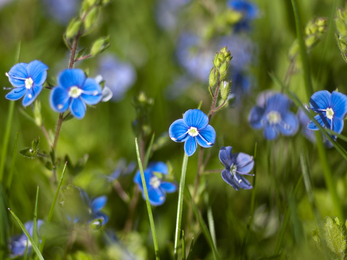 Germander Speedwell, (Veronica chamaedrys) Shadowbrook by Simon Phelps