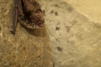 Whiskered bat