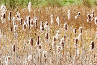 Alvecote Meadows bullrushes