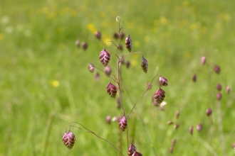 Quaking-grass