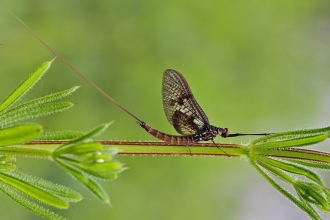 Common Mayfly