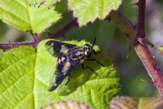 Twin-lobed Deer-fly