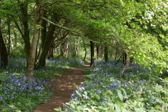 Crackley Wood Bluebells