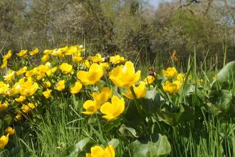 Marsh marigolds at Brook Meadow
