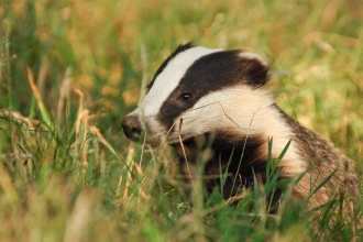 Badger copyright Andrew Parkinson/2020VISION (WildNet)
