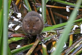 Water vole Margaret Holland