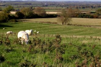 Radway Meadows sheep grazing