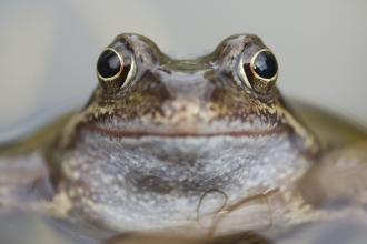 Common frog credit Mark Hamblin 2020VISION