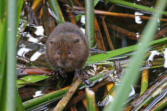 Water vole in river Credit Margaret Holland