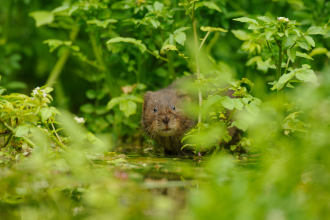 Water Vole Credit Terry Whittaker 2020VISION