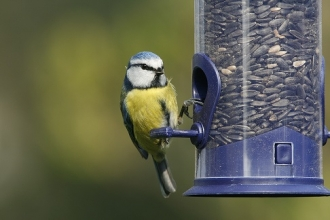 Blue tit on feeder Credit Nicholas Watts