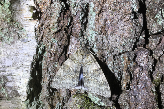 Moth Night 2019 Wappenbury Wood, Clifden Nonpareil Credit Paula Irish