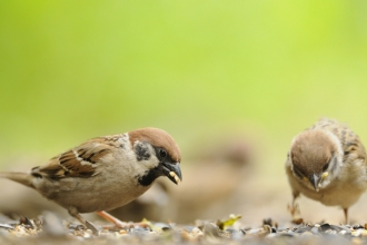 Tree Sparrow Credit Fergus Gill 2020Vision Wildnet