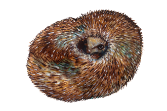 Curled-Hedgehog-Illustration