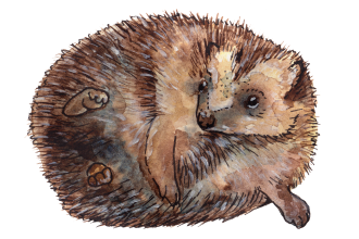 Open-Hedgehog-Illustration