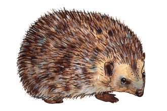 Standing-Hedgehog-Illustration