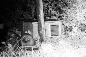 Hedgehog captured on the wildlife camera in Vicky's garden!