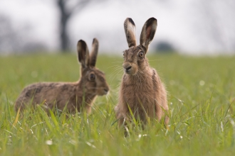 Pair of hares Luke O'Brien