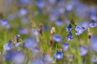 Germander speedwell. Vaughan Matthews