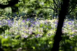 Wappenbury Wood bluebells Vicky Page