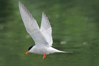 Common Tern David Goldsmith