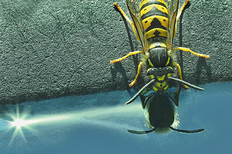 Wasp drinking Hilary Roberts