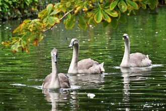 3 cygnets Wayne Cutts