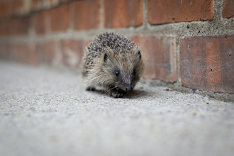 Hedgehog by urban wall Credit Tom Marshall
