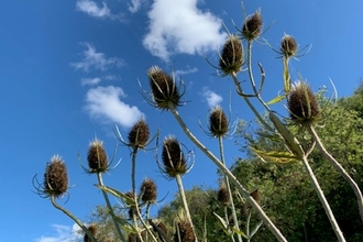 Teasels, Hampton Wood, Vanessa Winwood