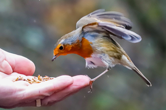 Robin perched on a hand