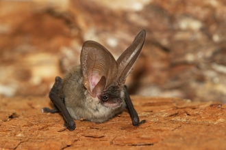 Grey-long eared bat