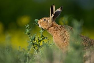 Brown hare having lunch!