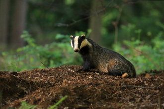 Badger. Jon Hawkins. Surrey Hills Photography