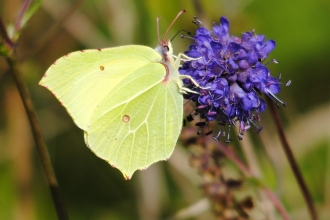 Brimstone butterfly. Amy Lewis