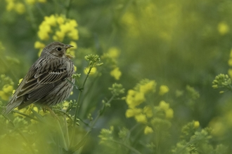 Corn bunting (Milaria calandra) singing in oilseed rape crop at an arable farm in Hertfordshire