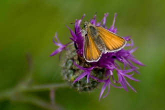 Small skipper butterfly. Zsuzsanna Bird