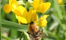 Bee on trefoil