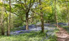 Bluebells at Rough Hill copyright Sue Stewart (WWT)