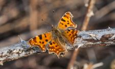Comma copyright Steven Cheshire (WWT)