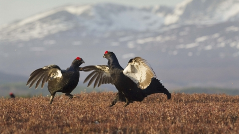 Black grouse males lekking