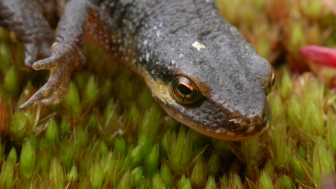 Close-up of palmate newt's head