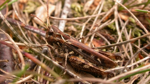 Mottled Grasshopper