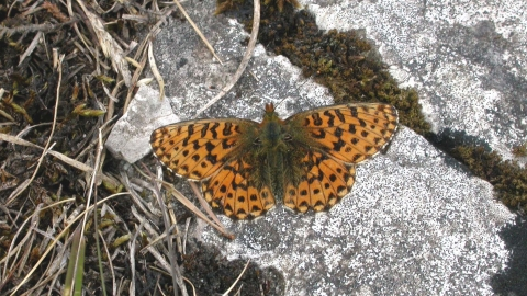 Pearl-bordered Fritillary butterfly