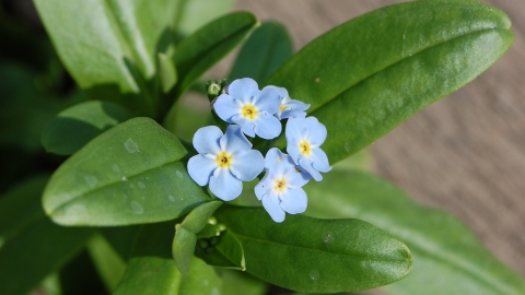 Water Forget-me-not