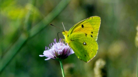 Clouded yellow butterfly Derek Moore Wildnet