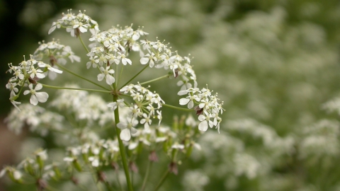 Cow parsley Philip Precey/Wildnet