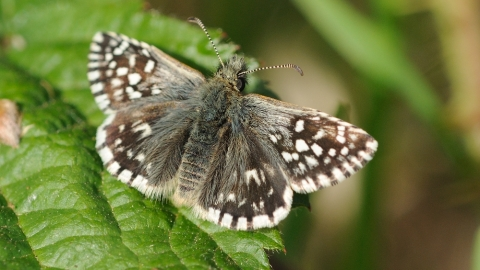 Grizzled skipper Steve Cheshire