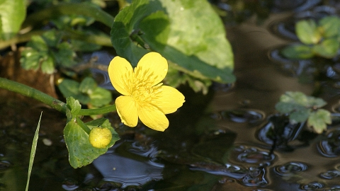 Marsh marigold Darin Smith