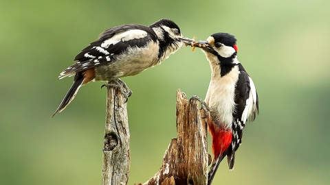 Great Spotted Woodpecker feeding junior Kathleen Everitt