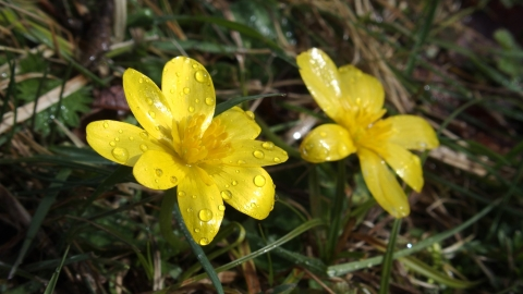 Cuttle Pool Lesser Celandine Credit Nick Wood Flickr